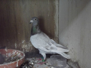 2e duif Perpignan