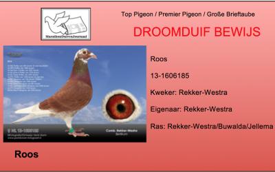 De Perfecte duif: Roos van Comb. Rekker-Westra